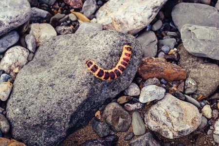 Red caterpillar Cossus Cossus on gray stones.