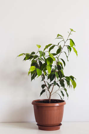 Potted ficus benjamin houseplant on white table. Plant Scandinavian interior. 写真素材
