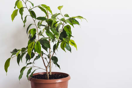 Potted ficus benjamin houseplant against a white wall. Styled Mockup for Text Template.