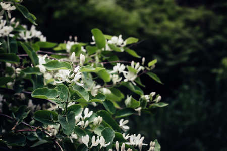 Beautiful honeysuckle bush with white flowers. Surreal dark Nature background. Springtime Backdrop.