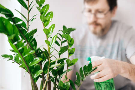 Bearded Man with Spectacles tends to houseplant and sprays it. Soft focus, gardening concept