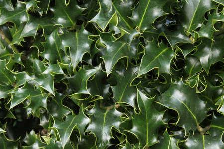 ilex: Ilex Leaves - a Natural Background Stock Photo