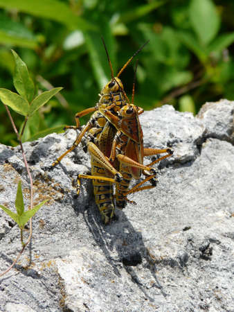 Mating grasshoppers in the sun photo