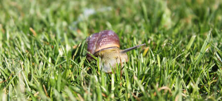 gastropoda: Snail  Gastropoda  having a walk through the grass
