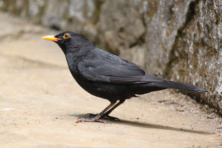 Common Blackbird photo