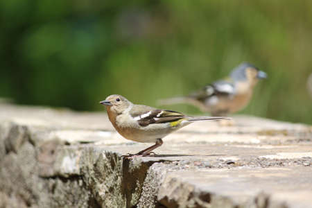 Madeiran Chaffinches photo