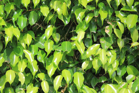Ficus Benjamina photo