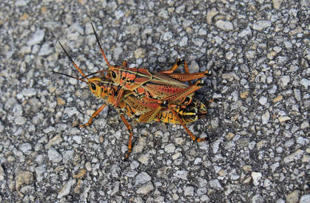 Mating Grasshoppers photo