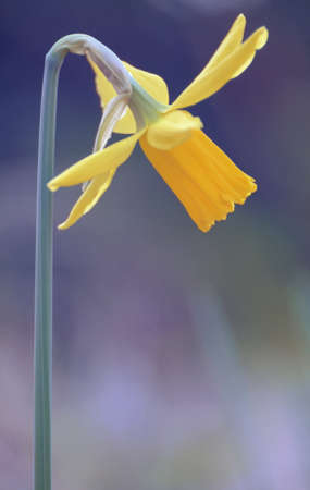 Flower of Narcissus yellow