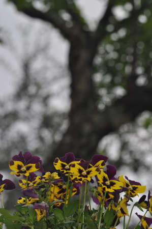 Pansy, Viola Tricolor, a Tuscan garden in the background the trunk of an olive tree photo