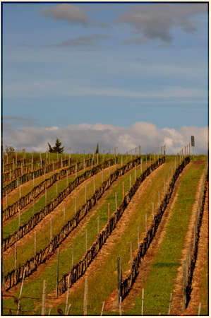 Vineyard near San Gimignano, Tuscany, land of the  Vernaccia  photo