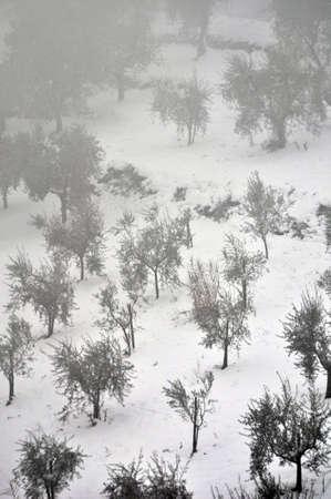 nebbia: Tuscan Olive plantation in a Tuscan hill, fog and snow, Toscana, piantagione di Ulivi, in una collina toscana, con nebbia e neve