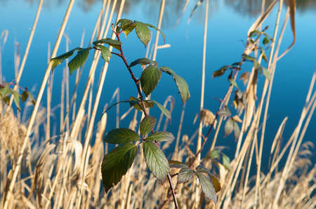 aquatic herb: Branch and cane near a lake Stock Photo