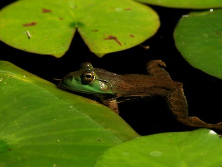 lessonae: Pool frog floats in a pond full of lily pads. Stock Photo