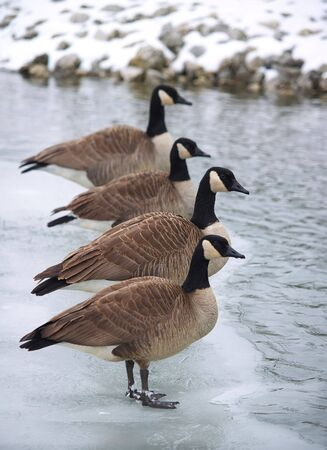 Canadian geese standing in line along some ice. photo