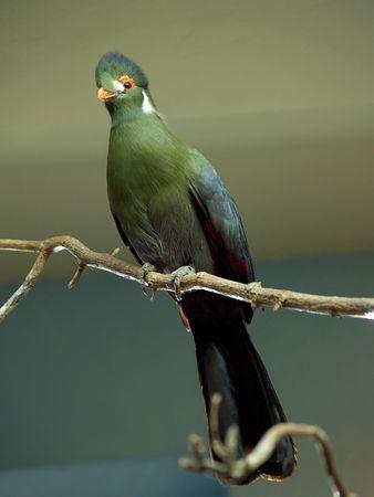 native bird: Un nativo de Sud�n p�jaro posado en una rama