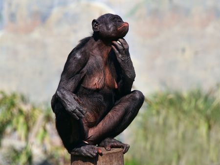 simian: A female bonobo scratches her chin while perched on a stump.