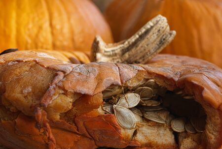 breaking out: Pumpkin seeds are breaking out of a pumpkin shell.    Stock Photo