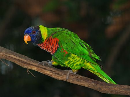 A blue-headed parrot is perched on a wood stick. photo