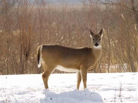 tailed: White Tailed Deer in a Field near Lake Erie, Ohio
