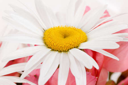Chamomile in bouquet close-up with red background