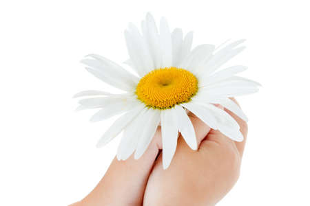 Daisy flower in the hands of a child, isolated on a white background