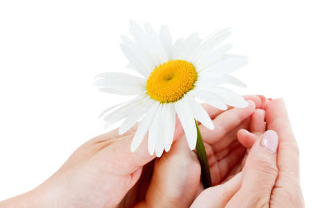 Camomile in the hands of the boy and mother. On a white background.