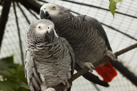 Pair of African grey parrots kiss in aviary of zoo.