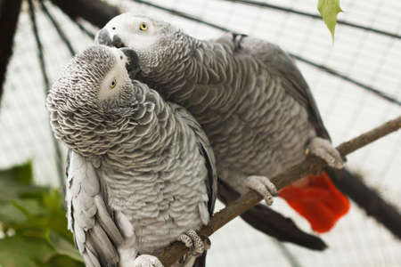 Pair grey parrots kiss in aviary of zoo.