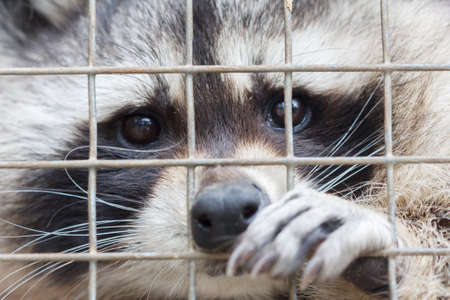 Raccoon in cage of zoo