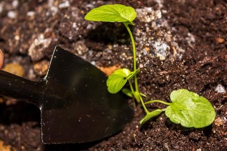 zorg voor zaailingen in het voorjaar en bereiding voor transplantatie Stockfoto