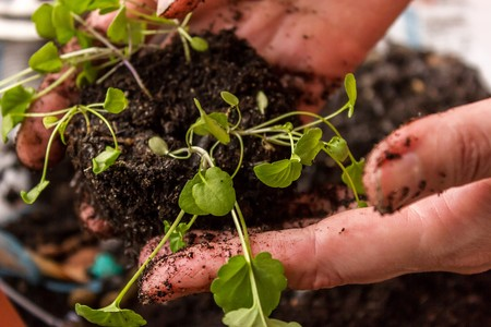 caring for seedlings in the spring and preparation for transplantation