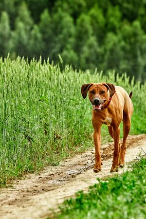 A purebred African Rhodesian Ridgeback walking in a field with rye Stock Photo