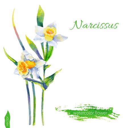 Fiore narciso, illustrazione acquerello isolato su sfondo bianco. Figura disegnata a mano. Elementi di disegno floreale.