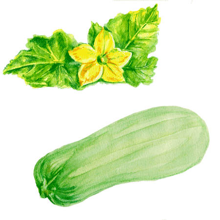 courgette: marrow zucchini, zucchini flower watercolor illustration on white background