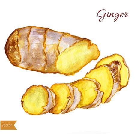 수채화 생강 루트. 손 생강 그림을 그립니다. 향신료 벡터 개체 흰색 배경에 고립입니다. 주방 허브와 향신료. 디자인 음식 요소. 음식과 요리 재료의