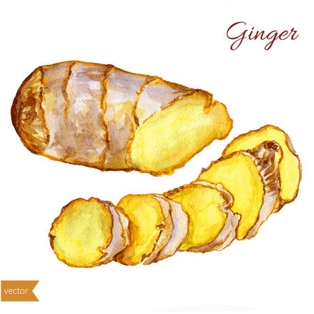 Watercolor ginger root. Hand draw ginger illustration. Spices vector object isolated on white background. Kitchen herbs and spices. Design food elements. Series of food and ingredients for cooking.