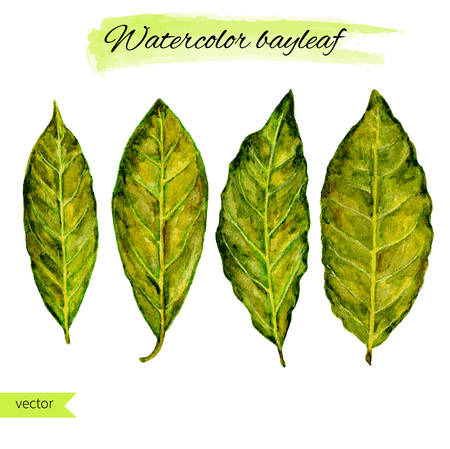 kitchen scraps: Bay leaf watercolor illustration on the white background