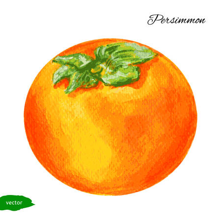 persimmon: Watercolor persimmon illustration isolated on white background