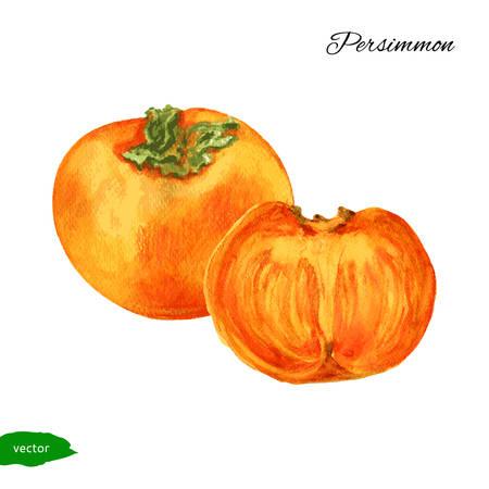 persimmon: persimmon, persimmon half watercolor illustration Illustration