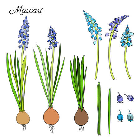 florist: Muscari flowers hand drawn doodle colorful sketch isolated on white, floral vintage graphic engraving collection hyacinth for package, medicine, florist shop, cosmetic design, wedding invitation, card