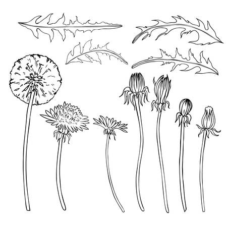 Dandelion Flower Bud Leaves Vector Engraving Botanical Sketch