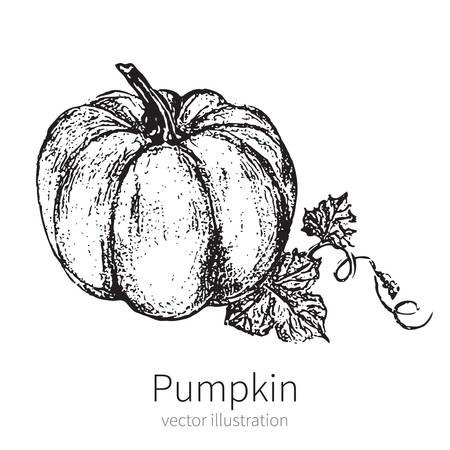 farmer market: Pumpkin vector illustration isolated on white background, graphic vintage sketch, food ingredients for menu, card, farmer market, holiday