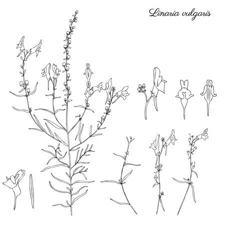 common snapdragon: Linaria vulgaris, common toadflax, yellow toadflax or butter-and-eggs is a species of toadflax, snapdragon, Plantaginaceae family, hand drawn vector botanical illustration, doodle ink sketch isolated