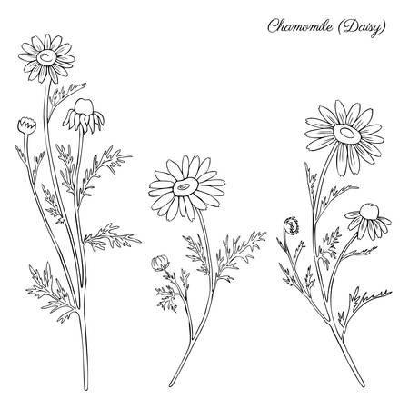 botanical medicine: Chamomile wild field flower isolated on white background botanical hand drawn daisy sketch  doodle illustration for design package tea, organic cosmetic, natural medicine, greeting card, wedding