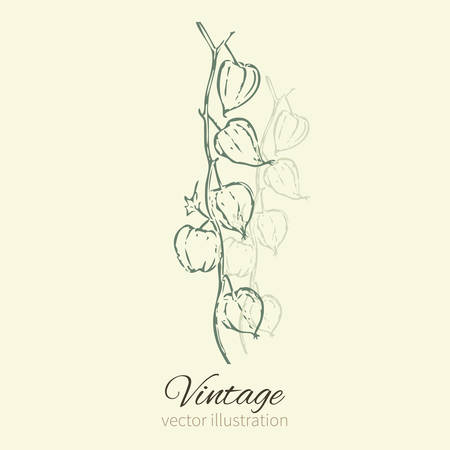 Physalis hand drawn doodle vector sketch isolated on light background, graphic berry set, Organic healthy food ingredients, green line art illustration, for healthy market, restaurant menu, cosmetic Illustration