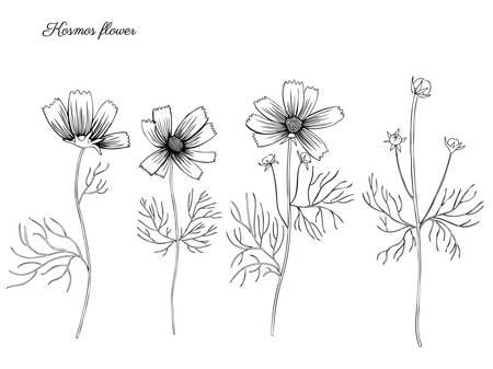Kosmos bloem, kosmeya hand getrokken doodle inkt schets, botanische illustratie, wilde bloem astra, bloemdessin voor wenskaart, bruiloft uitnodiging, element patroon, cosmetische verpakking, bruiloft uitnodigen