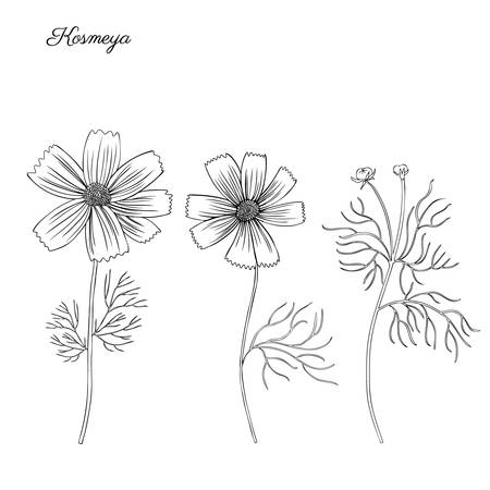 Kosmos flower, kosmeya hand drawn doodle ink sketch, botanical illustration, wild flower astra, floral design.