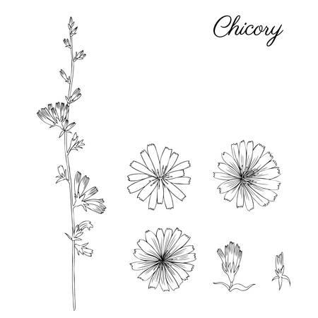 Cichorei bloem, bud, blad hand getrokken grafische vector botanische illustratie, doodle inkt schets geïsoleerd op wit, medische andijvie plant, contourstijl voor ontwerp wenskaart, uitnodiging, geneeskunde