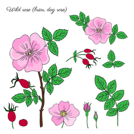 Wild rose, briar, hand drawn dogrose berry vector illustration isolated on white background, decorative rosehip colorful element for design cosmetic, natural medicine, herbal tea,health organic food